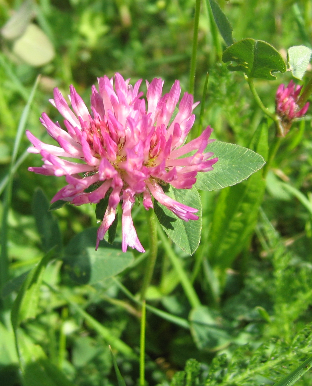 /media/images/trifolium.jpeg